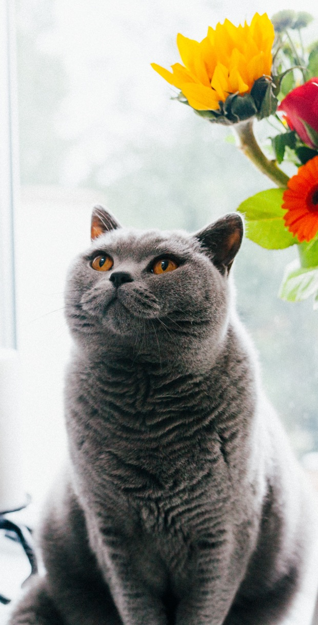 Cute cat wallpaper for iPhone. Beautiful grey cat with flowers