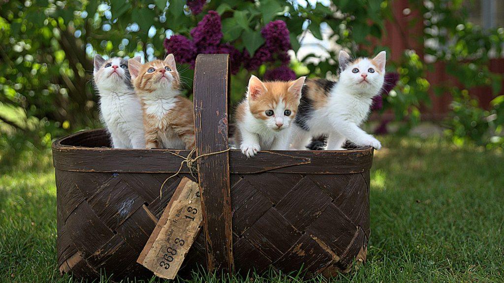 Cats Wallpapers Desktop - Beautiful kittens in a basket