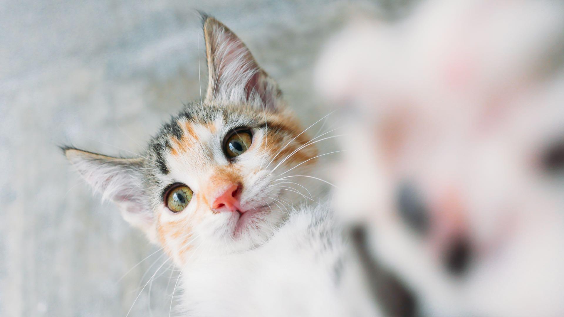 Cats Wallpapers Desktop - Lovely and Playful kitten