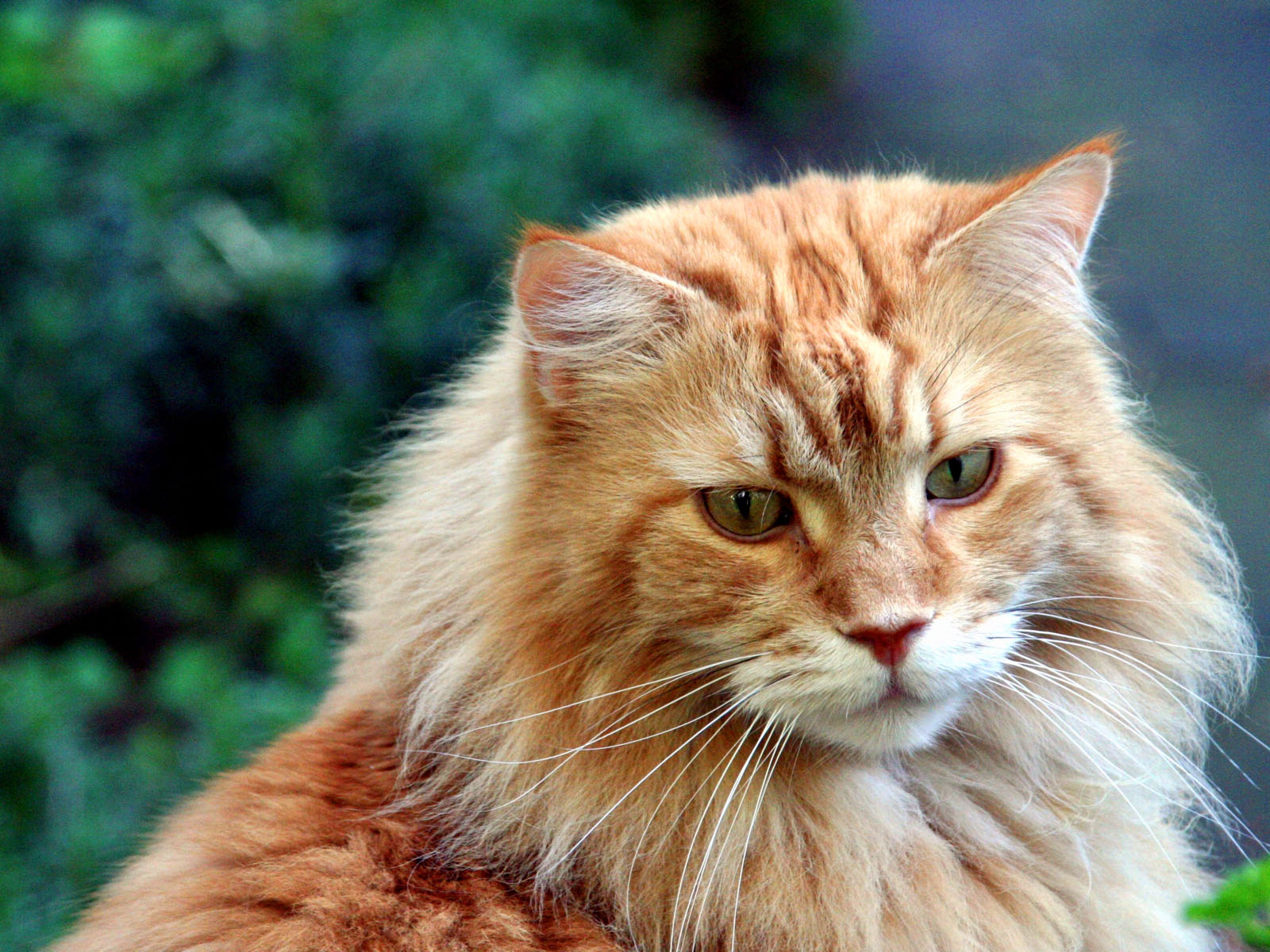 Cat Breeds — Orange Maine Coon Cat