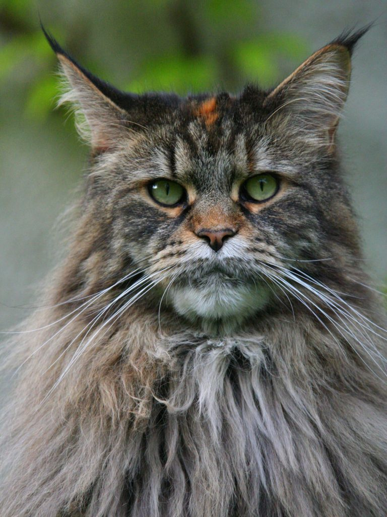 Beautiful Maine Coon Cat Photo