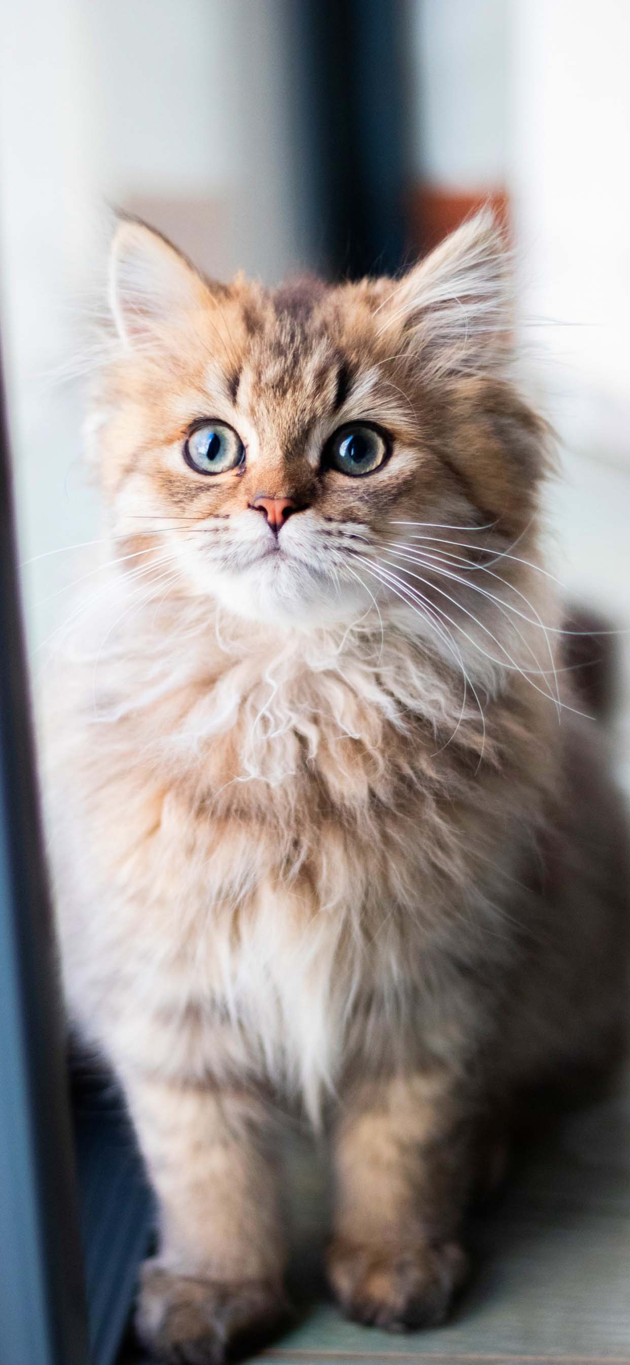 Cat wallpapers for iPhone XS Max - Beautiful fluffy kitten, young cat