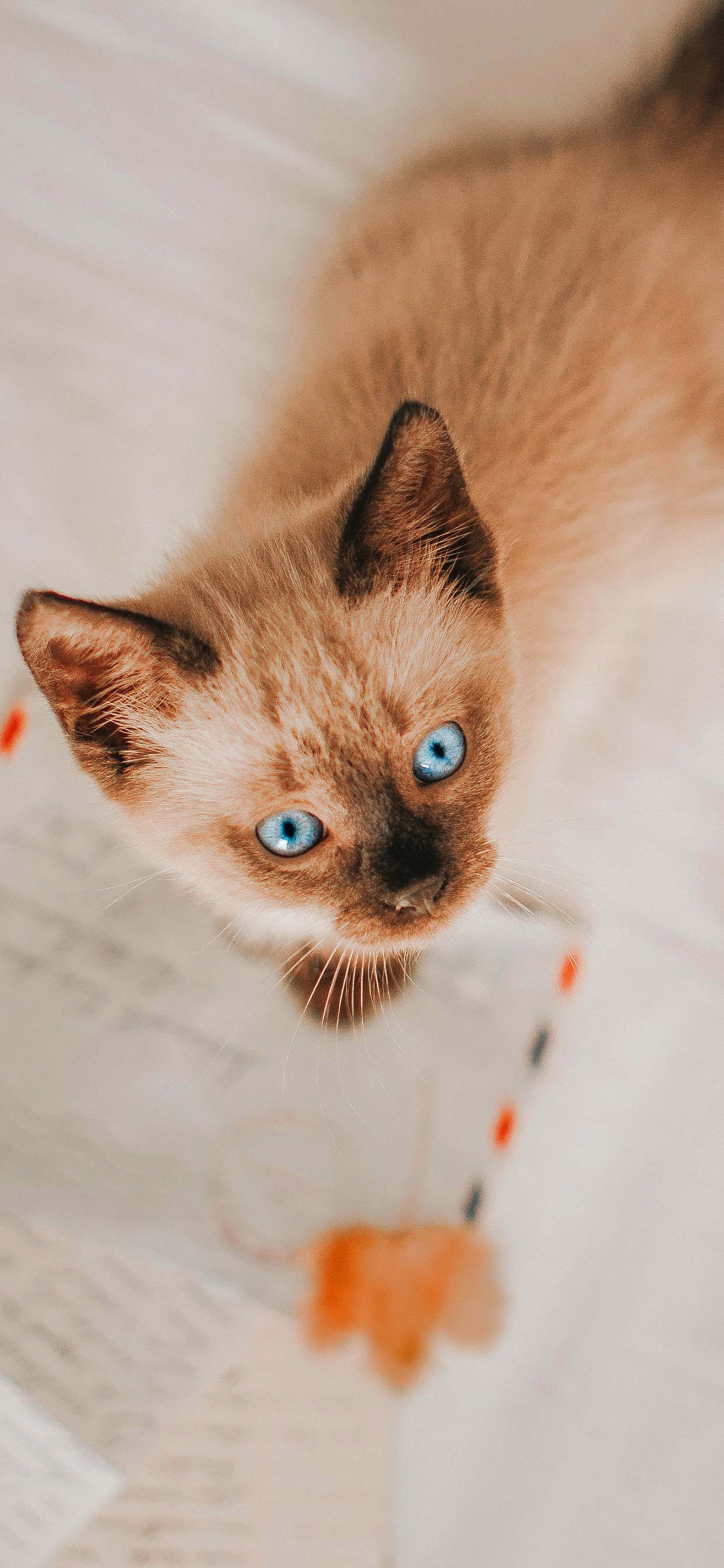 Beautiful kitten with blue eyes cat wallpaper