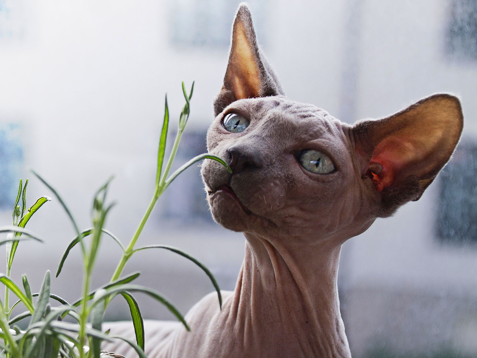 How Old Is My Cat In Human Years. Sphynx Cat, Beautiful Hairless Cat