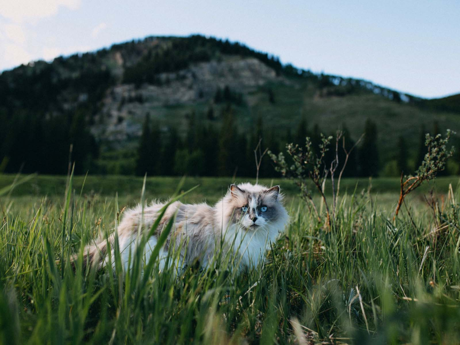 At the top of CFA's list of the most popular cat breeds is the Ragdoll