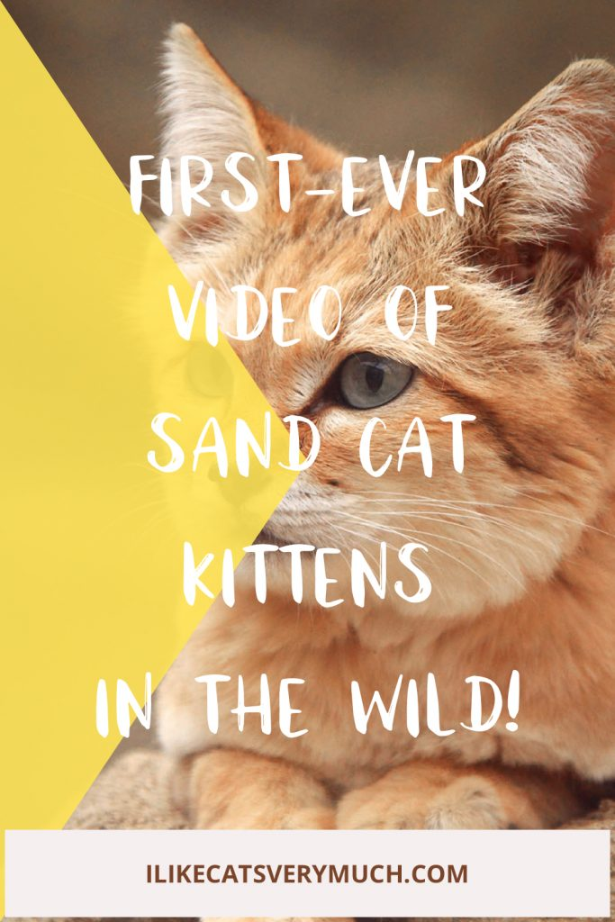 First-ever video of sand kittens in the wild