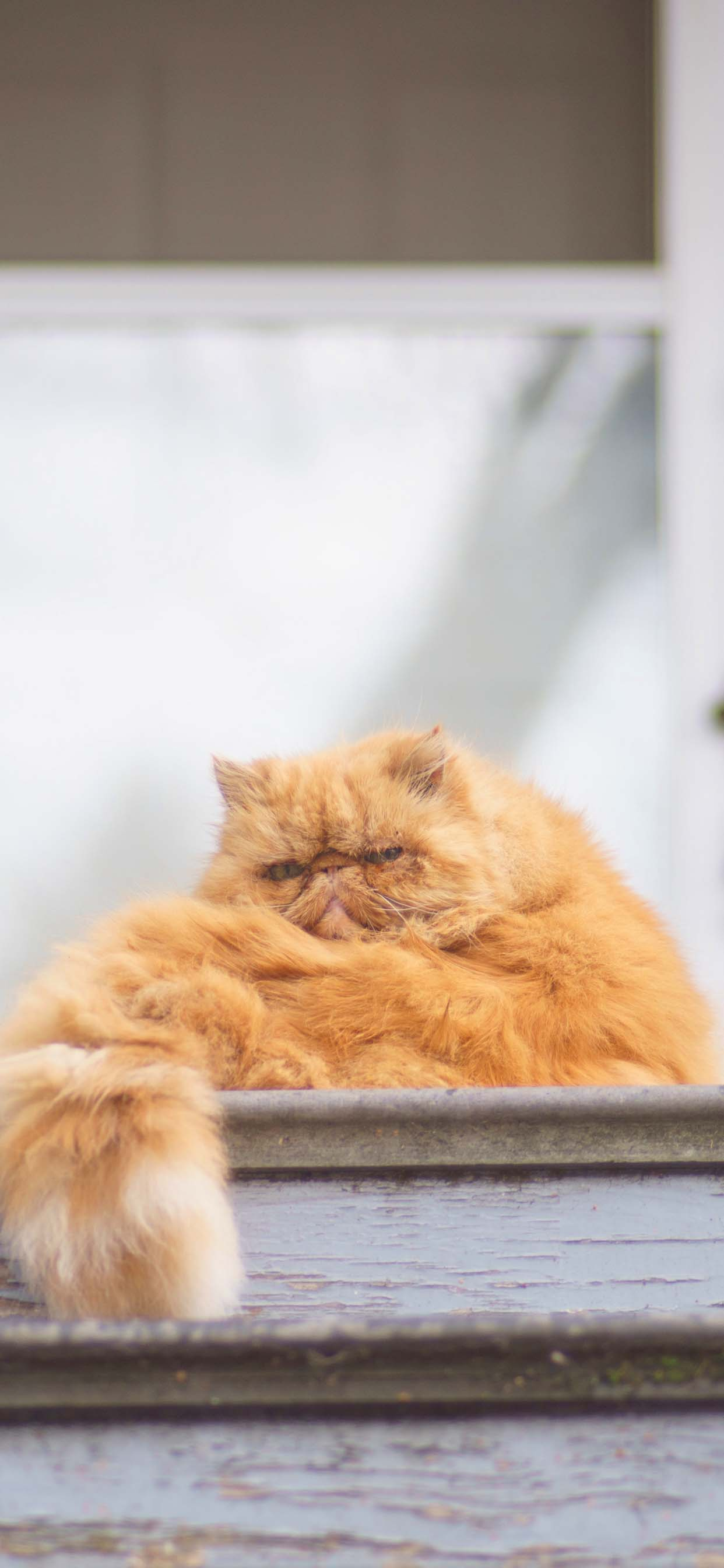 Cute Cat Wallpaper For iPhone XR - Cute Orange Persian Cat