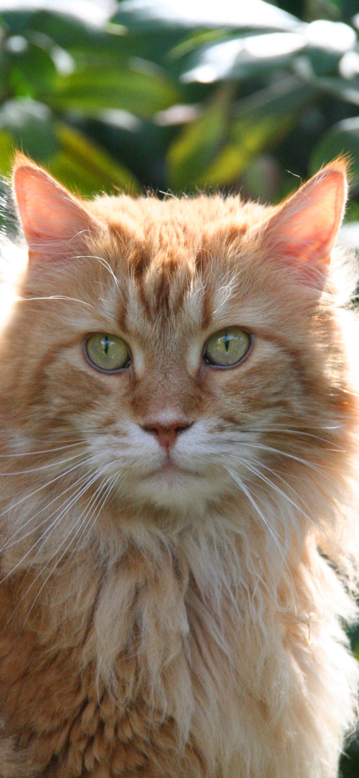 Cute Cat Wallpaper For iPhone XR - Orange Maine Coon Cat