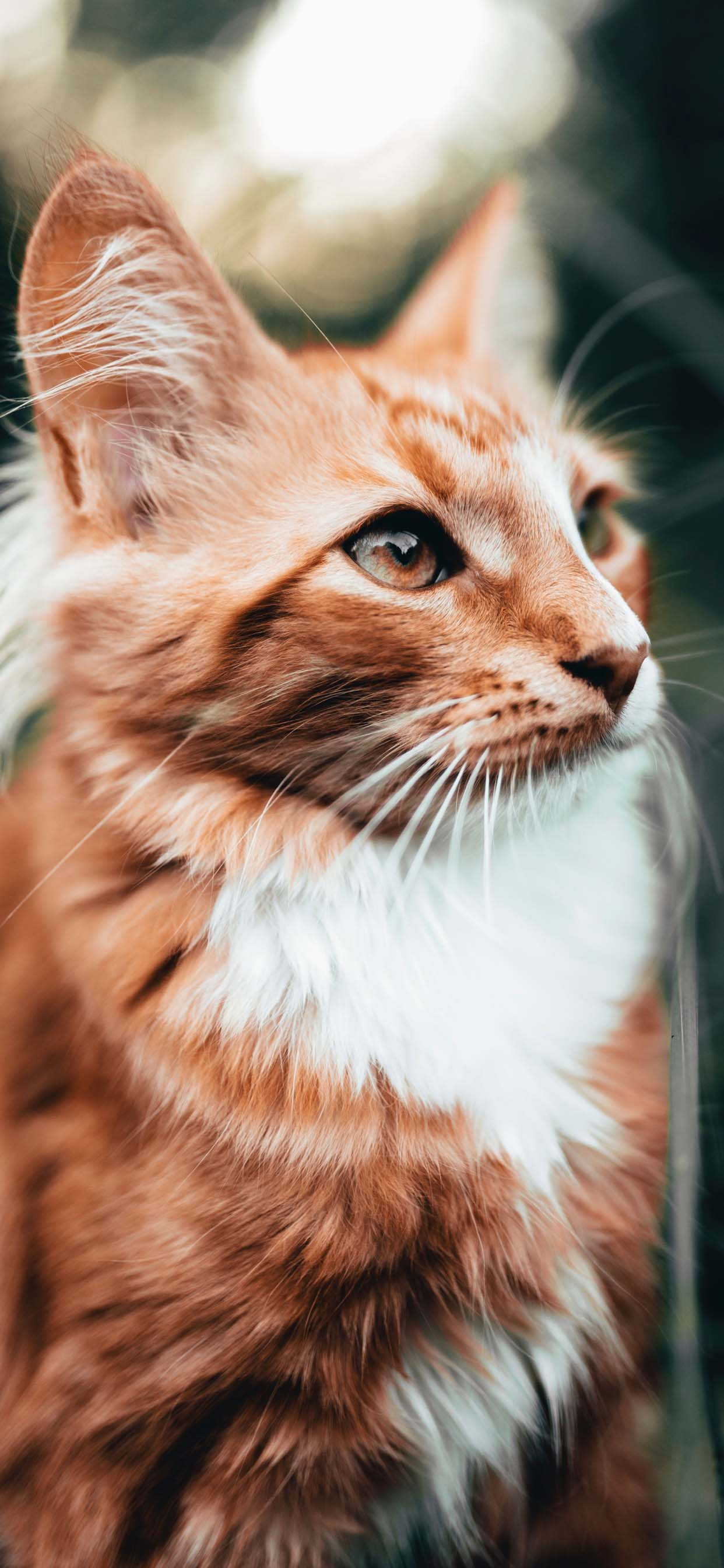 Beautiful Cat Portrait - Orange And White Cat