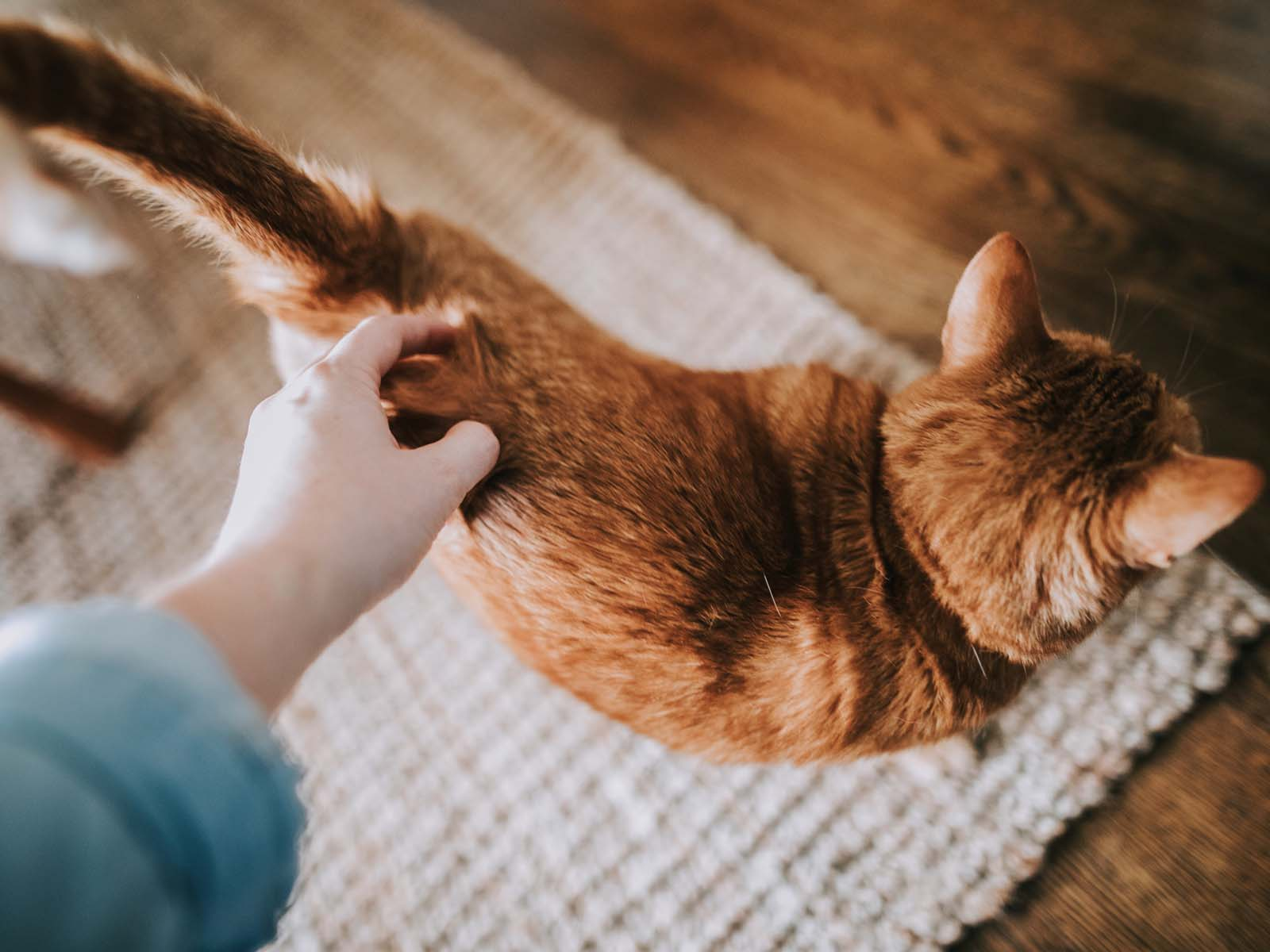 Why do cats meow to people — Beautiful orange cat photo