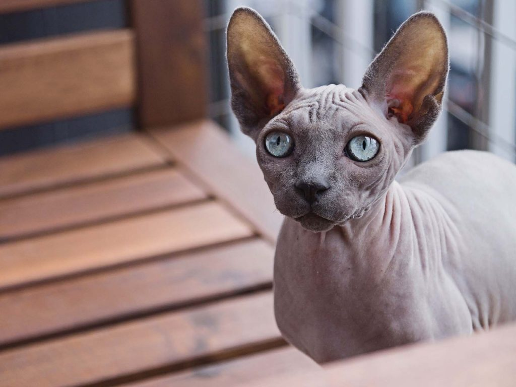 Hairless Sphynx Cat Breed