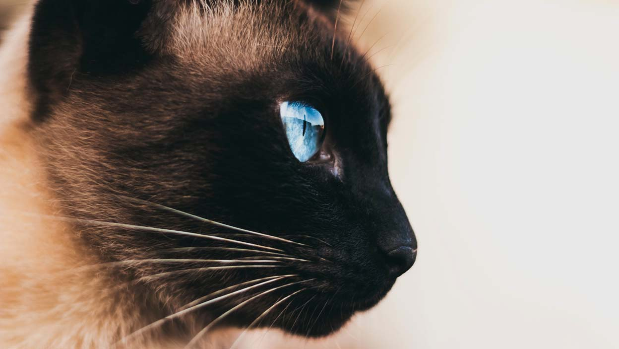 iMac 5K Cat Wallpaper - Cat with Beautiful Blue Eyes