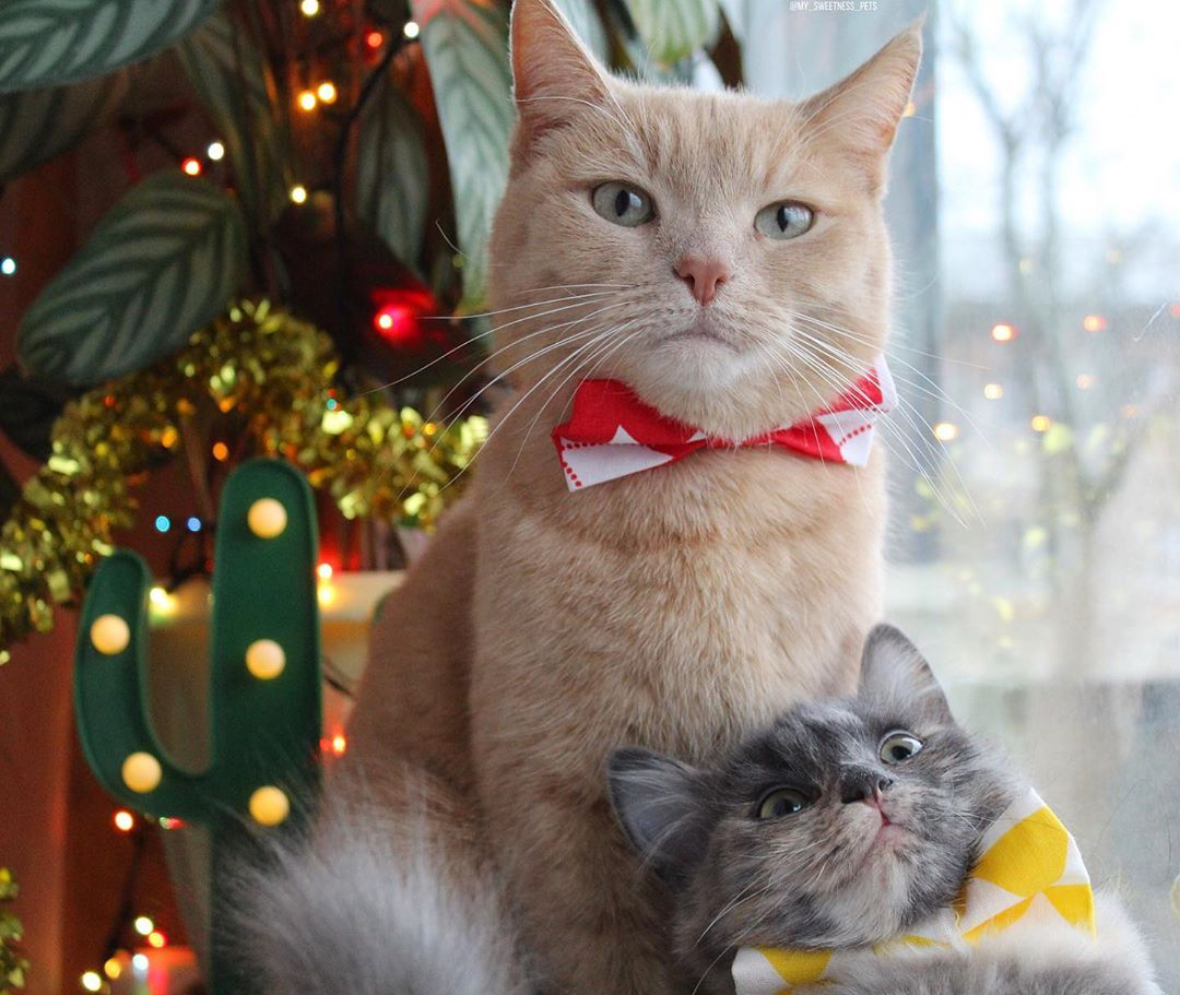 Cute beige gentleman cat and kitten are ready for Christmas. Cats and Christmas tree