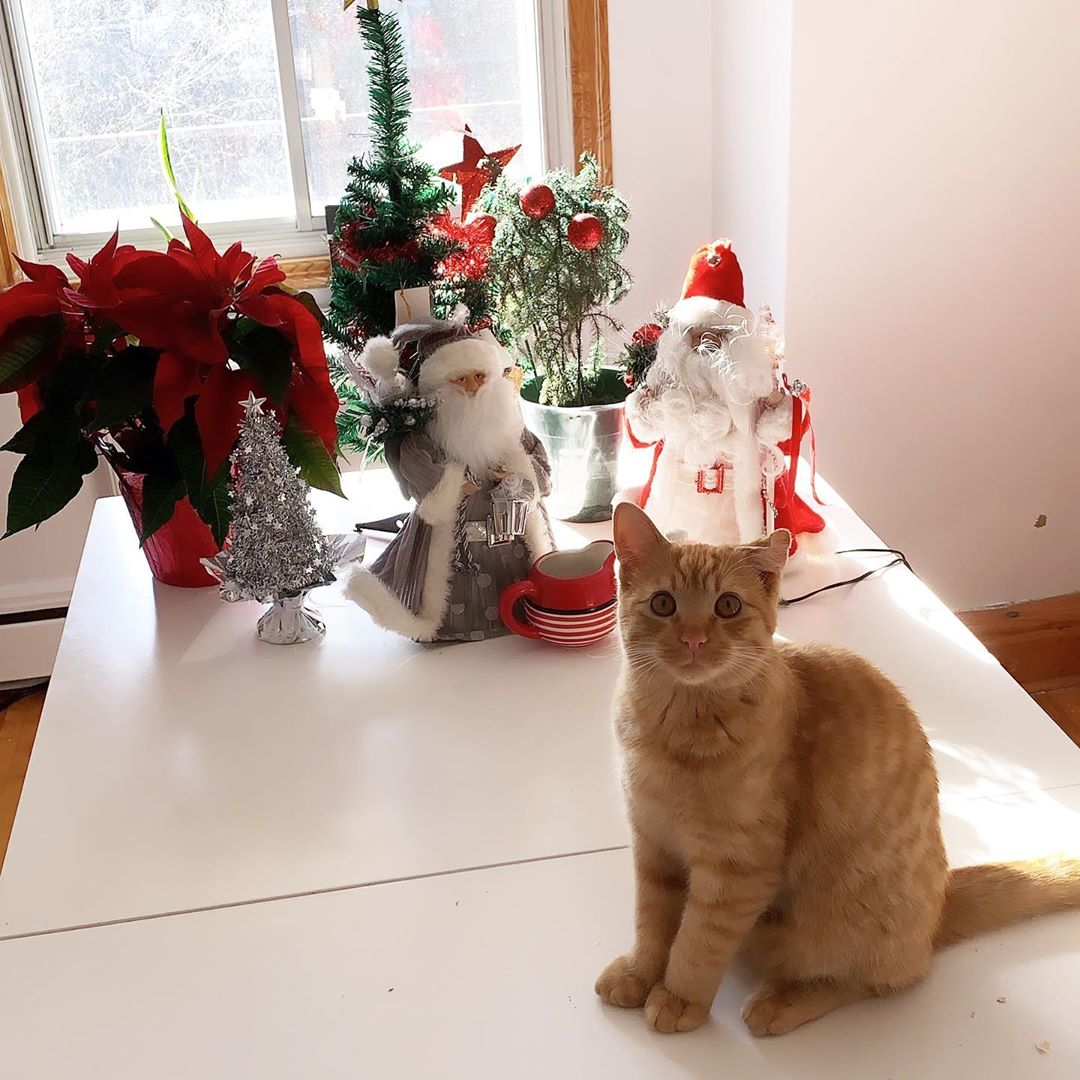 Orange cat and Christmas holiday decor