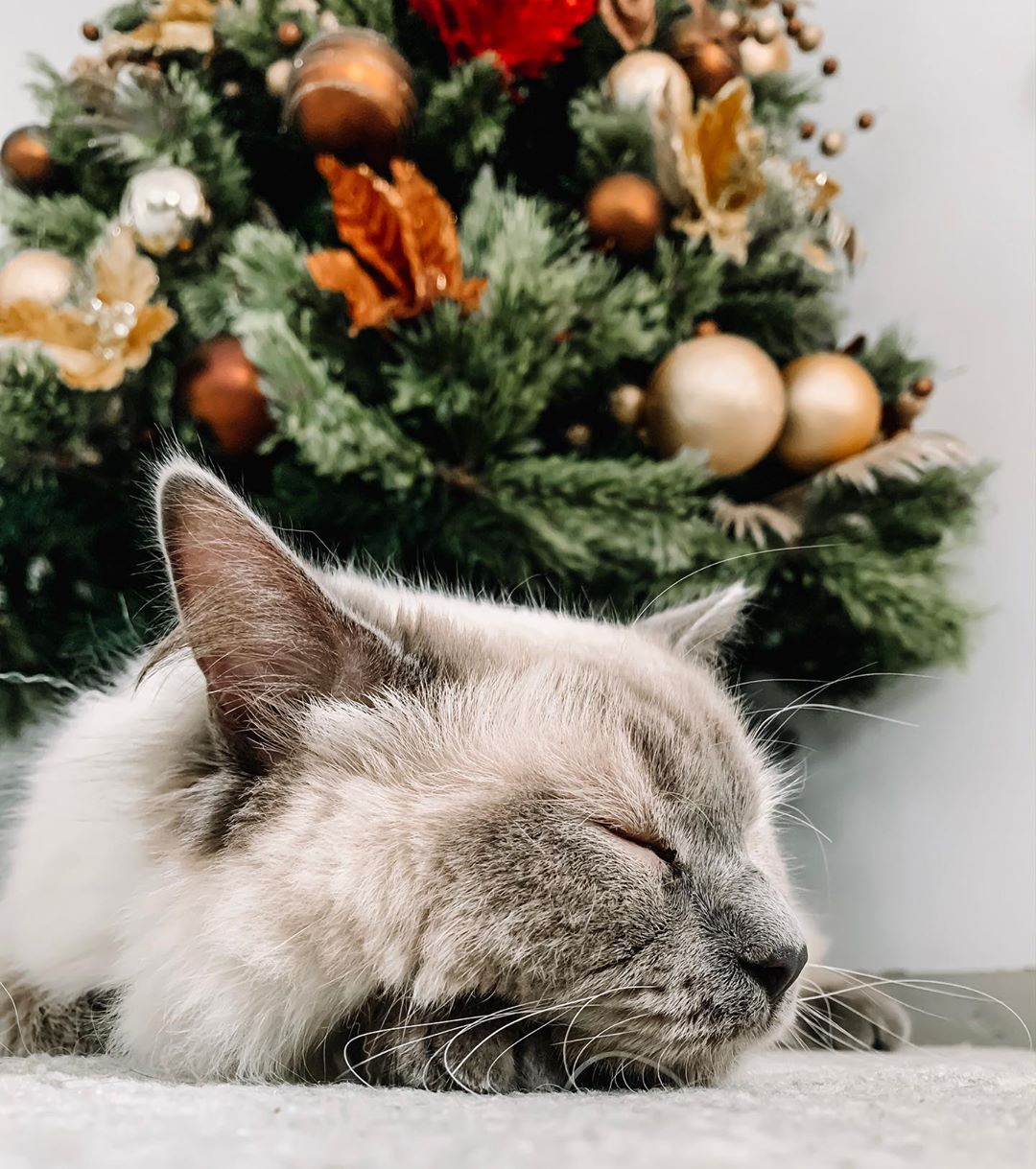 Cat enjoys Christmas holiday vibes