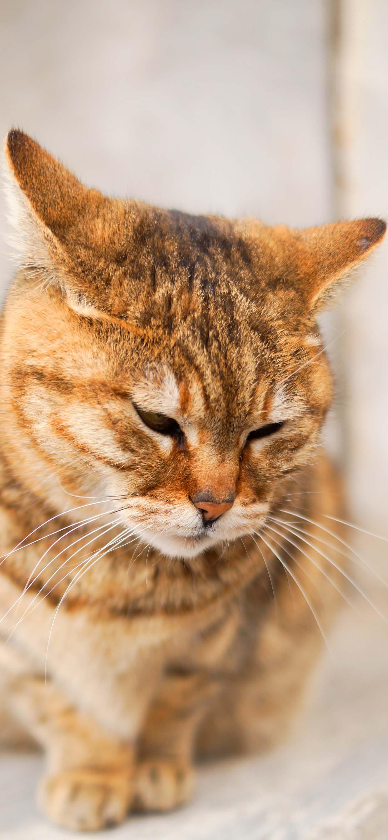 Cute Cat iPhone Wallpaper - Beautiful Orange Cat