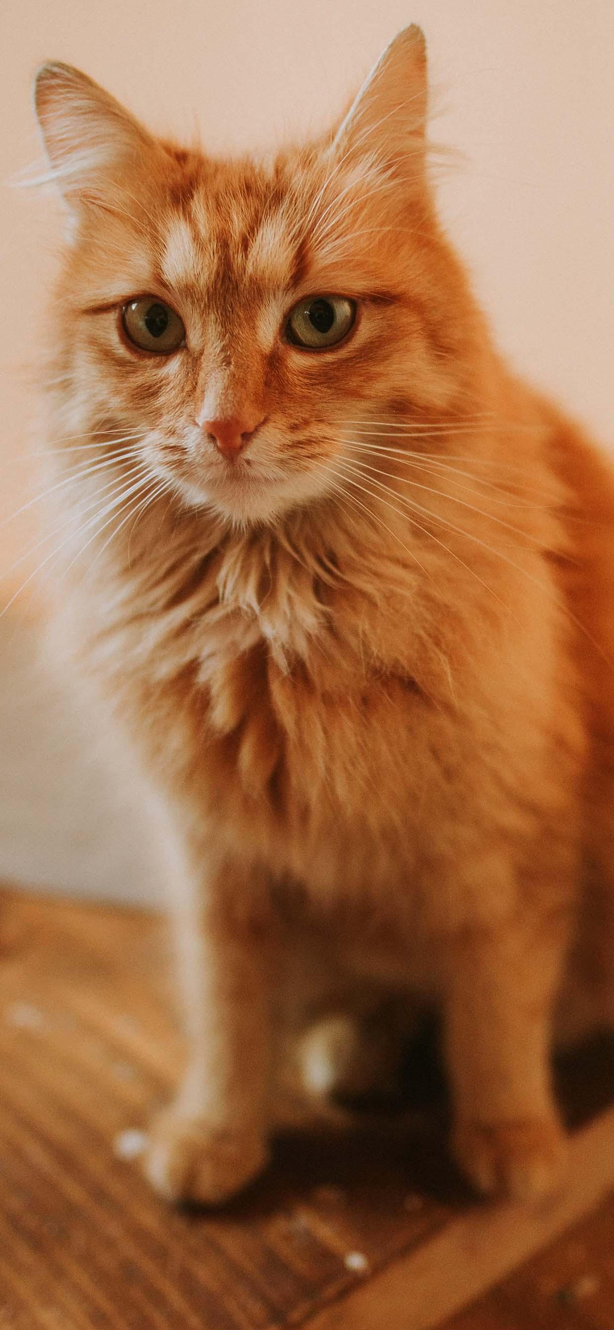 Beautiful Orange Cat - Cute Cat iPhone Wallpaper