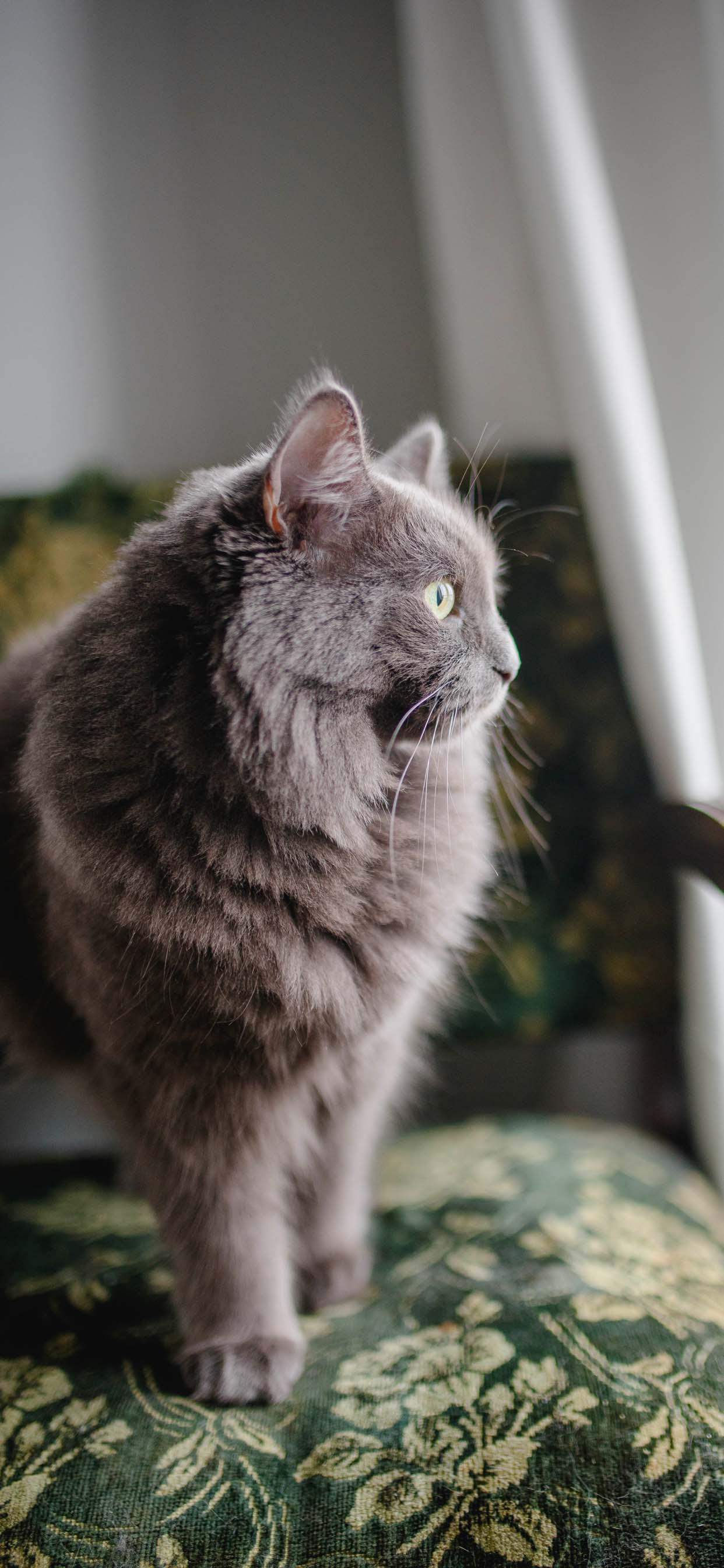 Fluffy Grey Cat - Cute iPhone Cat Wallpaper