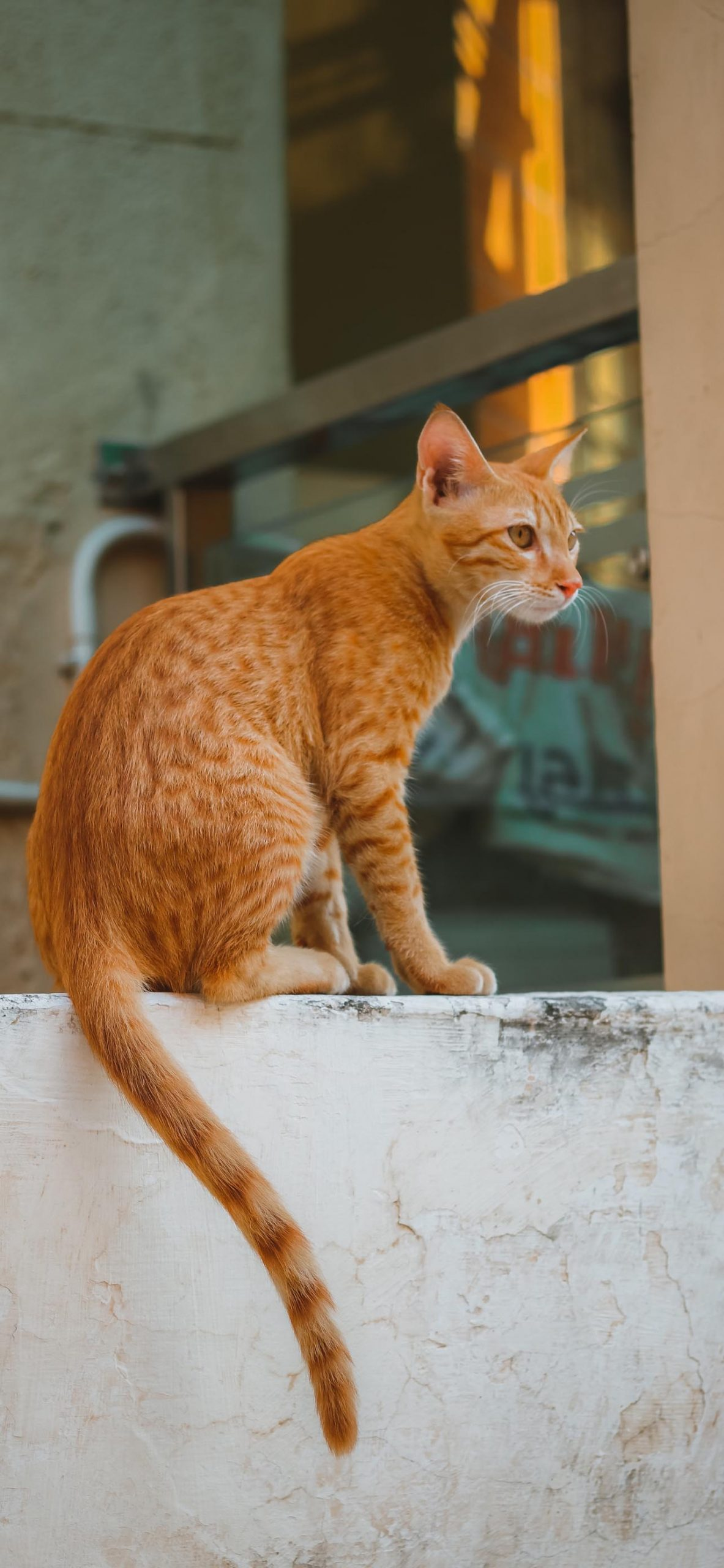 Ginger, Orange Cat Wallpaper