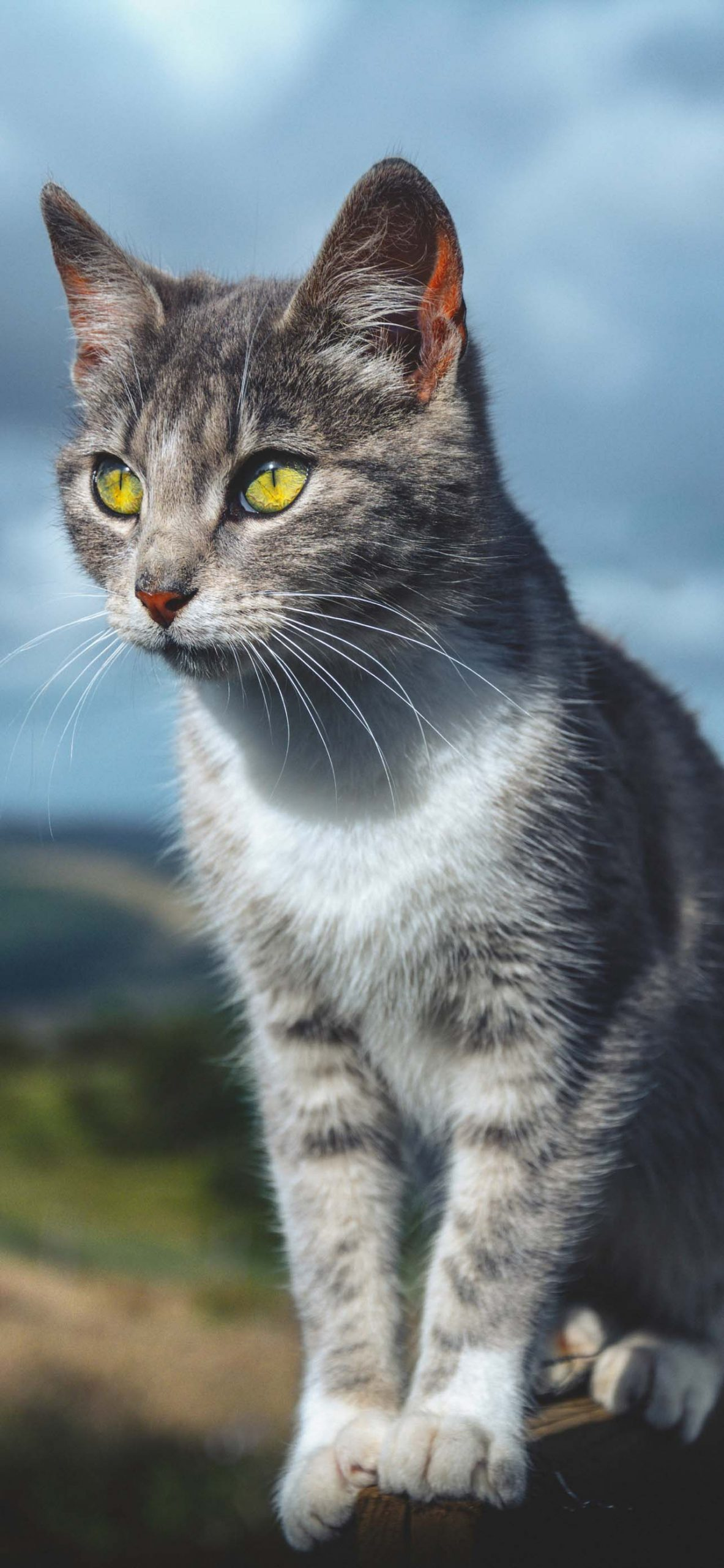 Beautiful Cat with Yellow Eyes Portrait