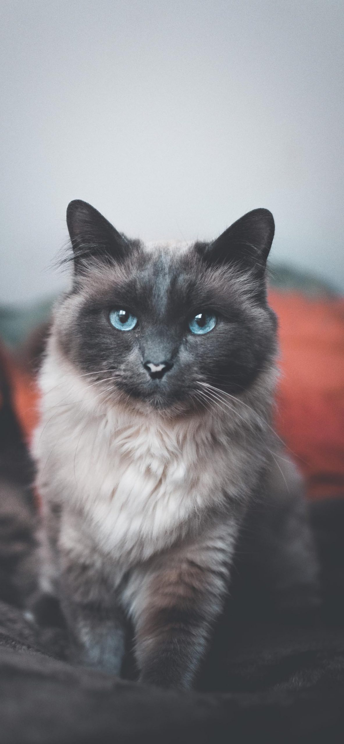 Lovely & Amazing Cat with Beautiful Blue Eyes